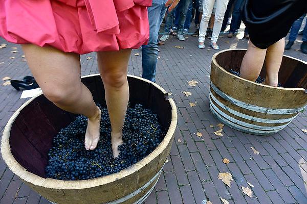Nederland, Groesbeek, 27-9-2014 In Groesbeek worden de nationale wijnfeesten gehouden. Onderdelen zijn o.a. het druivenkneuzen, het met blote voeten stampen van de druiven, wat geopend wordt door de wijnkoningin en haar prinsessen, wijnproeven, of bezoek aan een wijnboer, wijngaard. Groesbeek wil zich manifesteren als nationaal wijndorp en een voortrekkersrol spelen in de nederlandse wijncultuur omdat het diverse wijngaarden huisvest. In groesbeek national wine festivals are held. Part of this was the grape grinding, with bare feet stamping of the grapes. Groesbeek wants a leading role in the Dutch wine culture because it houses various vineyards. À Groesbeek vin festivals nationaux sont organisés. Une partie de ce raisin a été le meulage, pieds nus estampillage des raisins. Groesbeek veut un rôle de premier plan dans la culture du vin hollandais car il abrite différents vignobles. Foto: Flip Franssen/Hollandse Hoogte