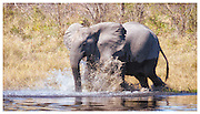 Elephant splashing through water, Okavango Delta, Botsawna