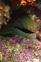 Panamic Green Eel hides in reef, Gymnothorax castaneus