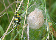 Wasp Spider - Argiope bruennichi<br /> female guarding egg sac