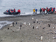 "Tourists line up for beach departure via Zodiac boat at a colony of Gentoo Penguins (Pygoscelis papua) on Aicho Island, Antarctica. An adult Gentoo Penguin has a bright orange-red bill and a wide white stripe extending across the top of its head. Chicks have grey backs with white fronts. Of all penguins, Gentoos have the most prominent tail, which sweeps from side to side as they waddle on land, hence the scientific name Pygoscelis, ""rump-tailed."" As the the third largest species of penguin, adult Gentoos reach 51 to 90 cm (20-36 in) high. They are the fastest underwater swimming penguin, reaching speeds of 36 km per hour."