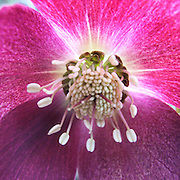 A macro photograph of the inside of a blossoming red Hellebore in Central Park, New York City.