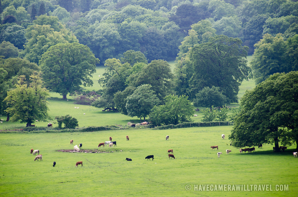 Cattle graze on the lush grass in a pasture next to Beaumaris on the island of Anglesey of the north coast of Wales, UK.
