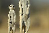 Meerkats | Erdmännchen