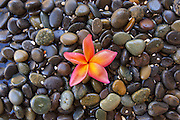 Pink Plumeria on Wet Rocks