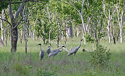 A flock of Brolgas in East Kimberley woodland.