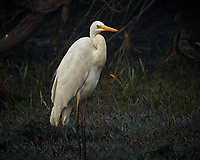 Great Egret. Bharatpur-- Keoladeo Ghana National Park, Rajasthan, India. Image taken with a Nikon 1 V3 camera and 70-300 mm VR lens.