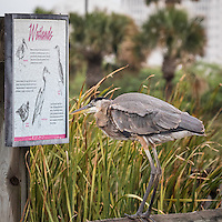 Ardea herodias, South Padre Island, Texas