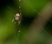 Unitentified spider (ventral view) from Andasibe National Park, eastern Madagascar.