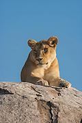 Lioness rest atop a kopje (rock outcrop), Serengeti Nationa Park, Tanzania