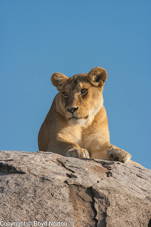 Lioness rest atop a kopje (rock outcrop), Serengeti Nationa Park, Tanzania