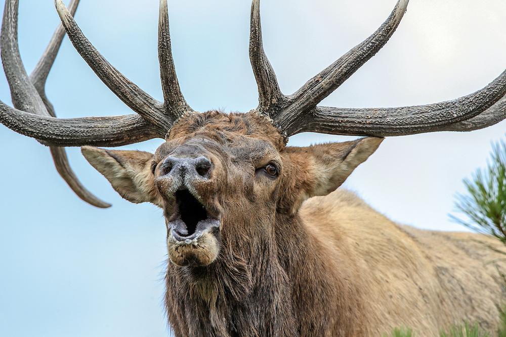 Close-up of bull elk bugling in autumn habitat