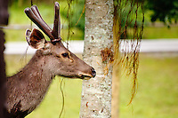 Sambar deer Khao ¥ai National Park, Thailand