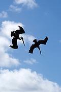 Pelicans dive-bombing fish swarms.