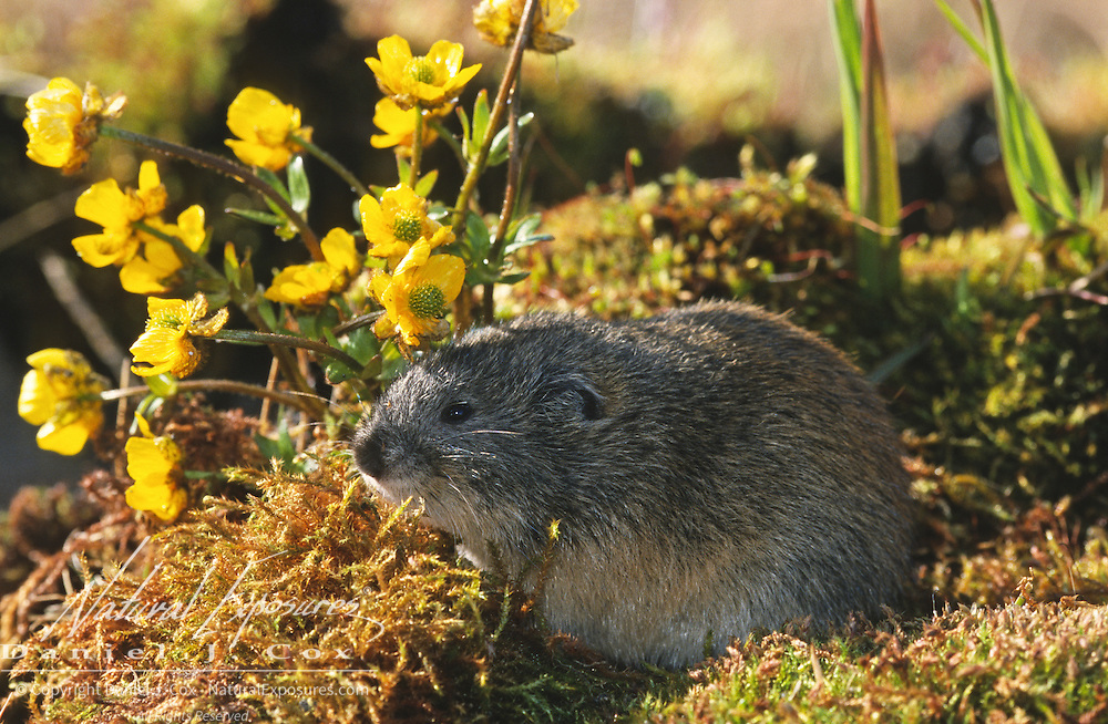 Brown Lemming (Lemmus trimucronatus), Alaska
