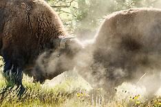 Vermejo Bison