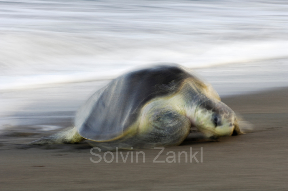 "The arrival of one olive ridley sea turtle (Lepidochelys olivacea) at the beach of Ostional, Costa Rica, Pacific coast, can be the beginning of an arribada (mass nesting event) of the sea turtles. Thousands and thousands of the 50 kilogram reptiles come ashore over a period of up to a week, only interrupted by the hottest midday sun, to bury their eggs in the warm sand. [size of single organism: 80 cm] | Am Strand von Ostional kommen das gesamte Jahr über einzelne Meeresschildkröten zur Eiablage an Land.  In den Monaten April bis Dezember kann aber die Ankunft einer Oliv-Bastardschildkröte (Lepidochelys olivacea) im frühen Morgengrauen der Beginn einer monatlich sich wiederholenden Massen-Eiablage von bis zu mehreren Hunderttausenden Weibchen dieser Art sein. Dieses Phenomen wird als ""Arribada"" (spanisch für ""Ankunft"") bezeichnet."