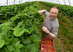 Pictured: Member of the Scottish Affairs Committee David Duguid, Conservative MP for Banff and Buchan, visited the fruit farm and picked strawberries.<br /> <br /> Members of the Scottish Affairs Select Committee of Parliament visited West Jordan Stone fruit farm in rural Perthshire to see first hand the effects of reduced numbers of foreign workers coming in to pick fruit and other seasonal jobs, meaning tons of fruit has been left to rot on the plants.<br /> <br /> &copy; Dave Johnston/ EEm