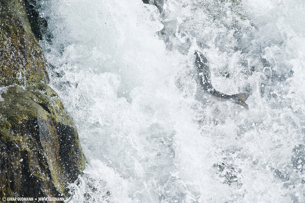 Salmon fishing is very popular in Iceland, so is photographing them when they give the opportunity.