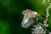 Female Vermillion Flycatcherin flight