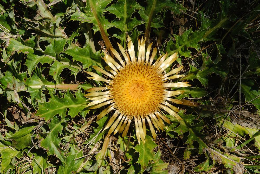 Acanthusblad zilverdistel, Carlina acanthifolia
