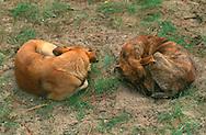 PRT, Portugal: Streunender Hund, Haushund (Canis lupus familiaris), ein Paar liegt auf dem Boden und schlafen, beide sind zusammengerollt, Monte Gordo, Algarve | PRT, Portugal: Stray dog, domestic dog (Canis lupus familiaris), couple laying on the ground sleeping, both rolled up, Monte Gordo, Algarve |