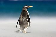 Gentoo Penguin - Pygoscelis papua