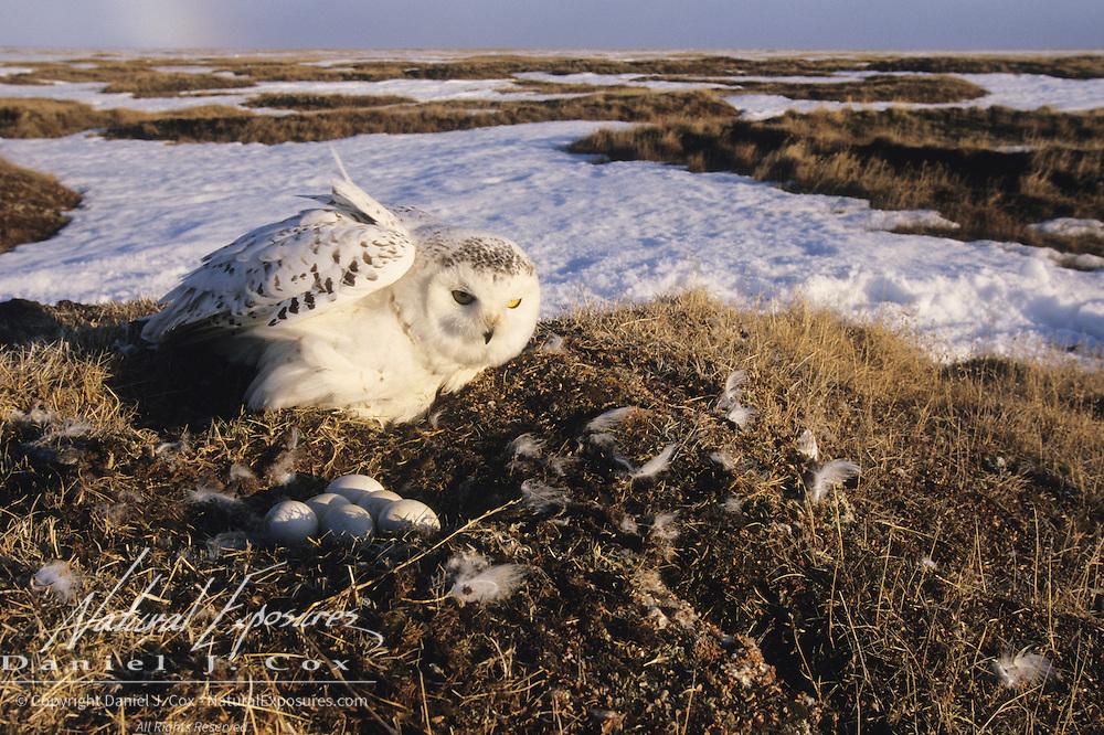 Snowy Owl (Bubo scandiacus) adult returning to its nest. Barrow, Alaska