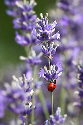 © Licensed to London News Pictures. 23/07/2014. Summerdown Farm, Hampshire, UK. A ladybird on Lavender flowers in bloom on Summerdown farm near Malshanger in Hampshire. The lavender will be harvested and distilled into lavender oil. Photo credit : Rob Arnold/LNP