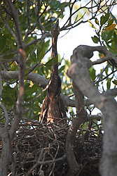 A Great billed heron chick (Ardea sumatrana) in the mangroves on Augustus Island on the Kimberley coast.  The herons are listed as 'least concern'.