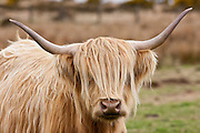 Blonde shaggy coated Highland cow with curved horns on Bodmin Moor, Cornwall