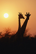 A pair of Masai giraffes are silhouetted by the setting/rising sun.