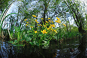 Kingcup, Marsh Marigold (Caltha palustris), Germany | Sumpfdotterblume (Caltha palustris), Deutschland