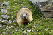 Italy, June 19 2015: An Alpine marmot (M. marmota) forages near the top of the Passo dello Stelvio (Stelvio Pass) mountain pass. It is the highest paved mountain pass in the Eastern Alps at an elevation of 2,757m above sea level. Copyright 2015 Peter Horrell.