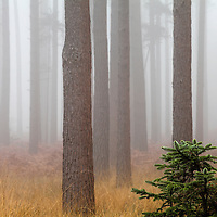 Trees in mist at dawn