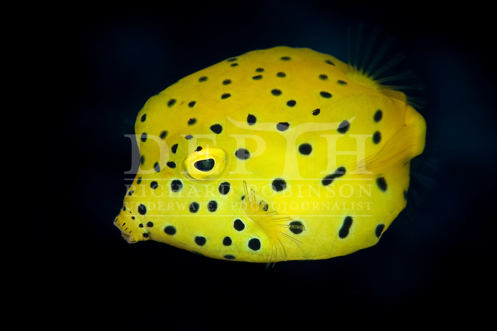 Yellow Boxfish (Ostracion cubicus) off the western side of North Chanter Island in the Herald Islets during the Kermadec Islands Biodiscovery Expedition, a project led by the Auckland Museum in conjunction with the Museum of New Zealand Te Papa Tongarewa, Australian Museum, and the Department of Conservation..Monday 16 May 2011..hotograph Richard Robinson © 2011.Dive Number: 343.Dive Buddy: .Site: North Chanter Island in the Kermadec Islands..Temperature:  22 Degrees Celsius..Maximum Depth: 23.3 meters..Bottom Time: 66 minutes..Bottom Time to Date: 21,458 minutes..Cumulative Time: 21,524 minutes.