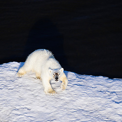 Polar bear on an ice floe in the Beaufort Sea, Alaska