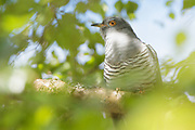 Cuckoo (Cuculus canorus) perched in tree. Surrey, UK.