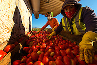 Tomato harvesting in Winters CA, Wednesday July 31, 2013.<br /> Photo Brian Baer