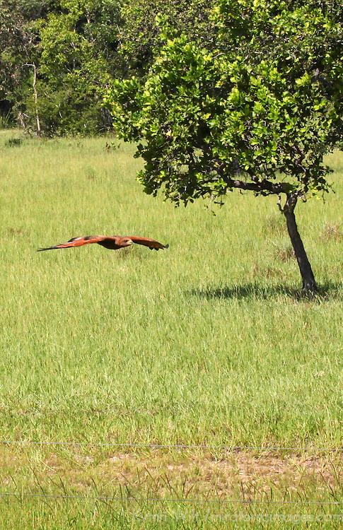 South America, Brazil, Pantanal. Savannah Hawk in flight over grasslands of the Pantanal.
