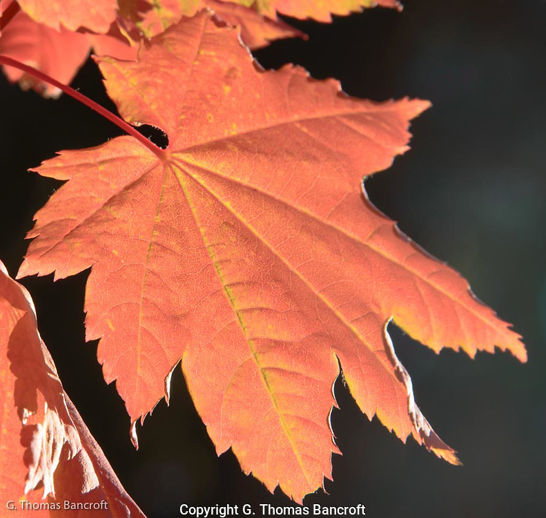 The texture and softness of the morning light as it came through the maple leaves left me with sense of wonder on how something as delicate as a leaf can capture sun light and turn it into food for the tree.