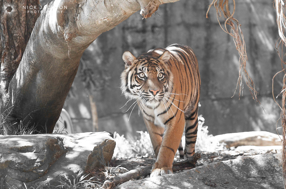 A beautiful sight to behold in South East Asia, this prowling tiger looked every inch king of his domain