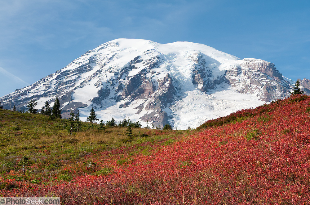In mid October huckleberry bushes on the flanks of Mount Rainier (14,411 feet/4392 meters) turn bright red and yellow. Lakes Trail, Mazama Ridge, near Paradise, Mount Rainier National Park, Washington, USA.