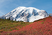 In mid October huckleberry bushes on the flanks of Mount Rainier (14,411 feet/4392 meters) turn bright red and yellow. Lakes Trail, Mazama Ridge, near Paradise, Mount Rainier National Park, Washington, USA.