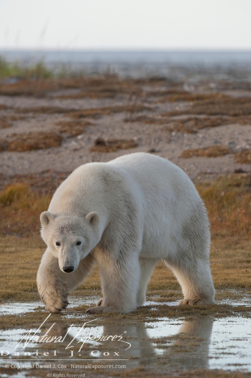 Polar Bear (Ursus maritimus) of the western Hudson Bay population. Manitoba, Canada