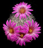 Cactaceae Portfolio III: Mammillaria (Mexico and The U.S.)