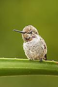 Anna's Hummingbird perched on an aloe bainesii plant, Southern California
