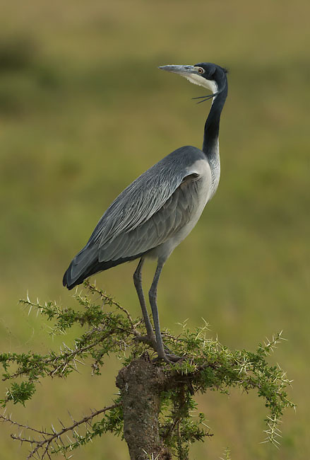 Black-headed Heron resting on young Acacia Tree.