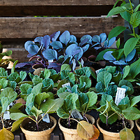 Purple and green cabbage transplants in recycled pots at a garden center.