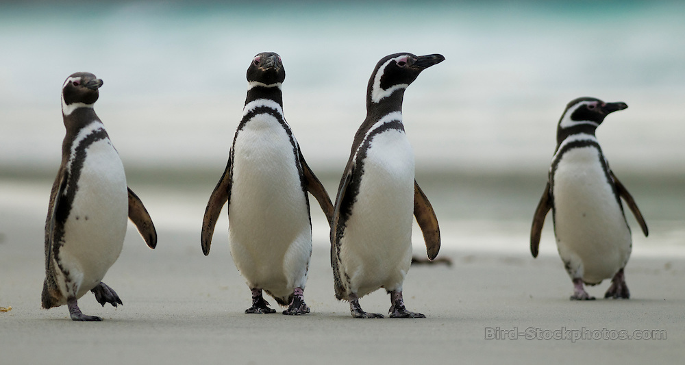 Magellanic Penguin, Spheniscus magellanicus, quartet, standing on beach, Falkland Islands, Antarctica, by Rich Lindie